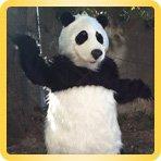 костюм реалистичной панды